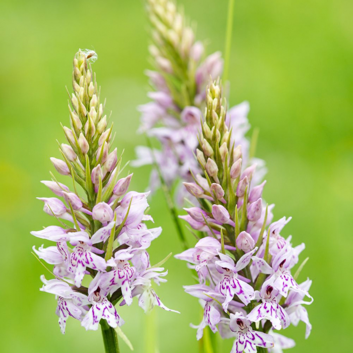 Orchid Hunting In The Surrey Hills – Wildflower Photography Walk – Saturday 19th June 2021